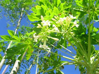 Khasiat Bunga Pepaya