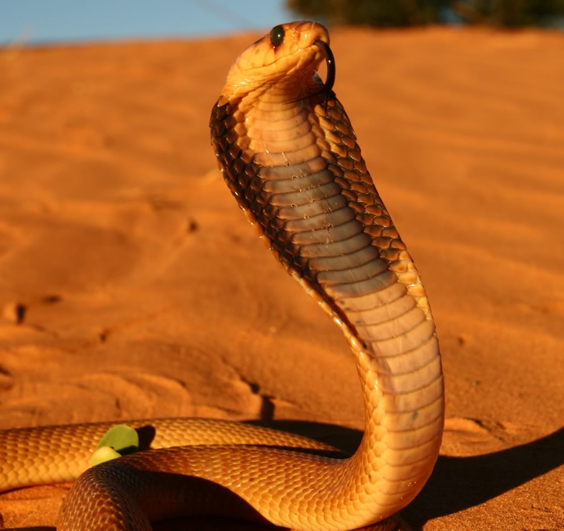 King Cobra With Head Raised