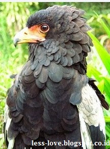 Burung Garuda Asli yang Masih Hidup