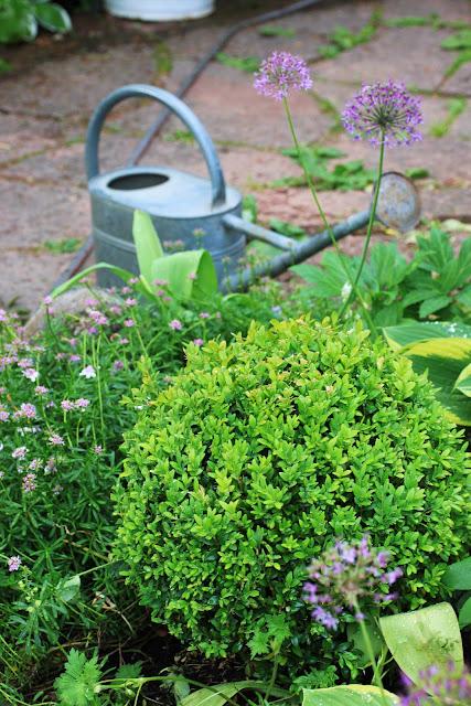 buxbom sjukdom klot trädgårdsdesign trädgård blogg