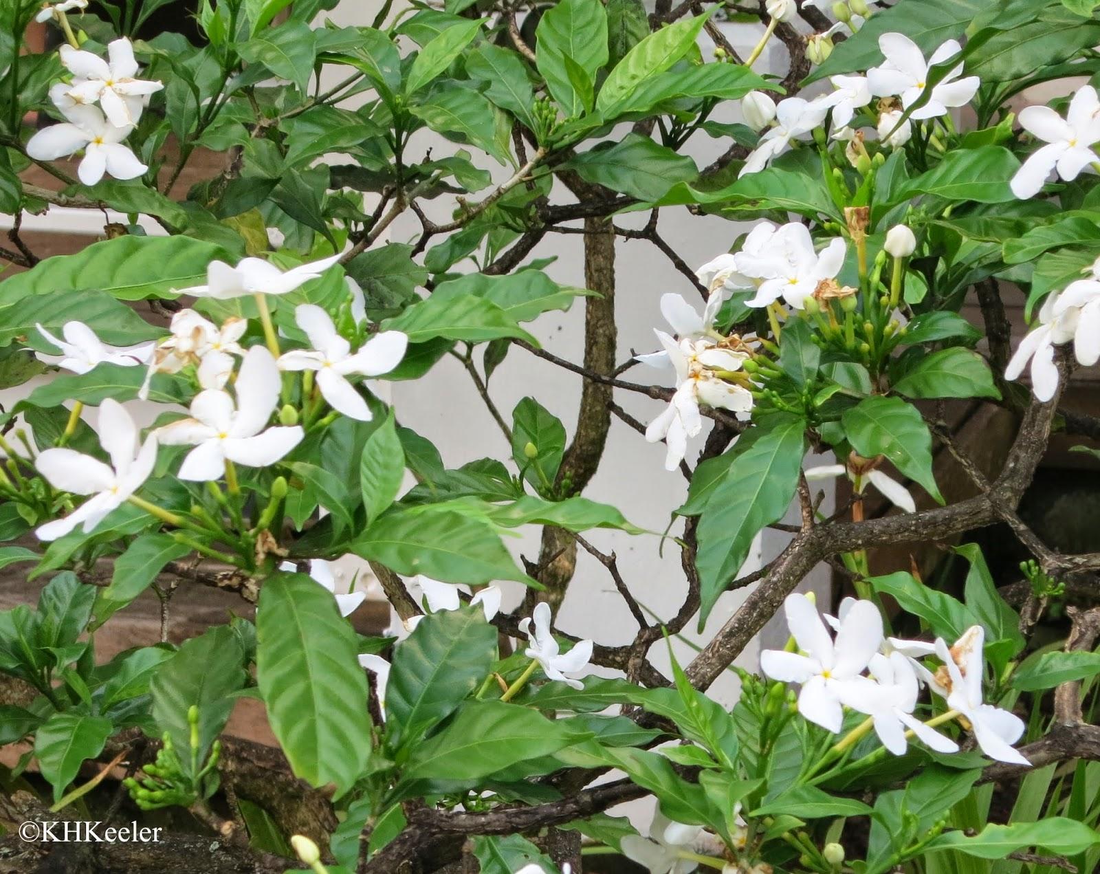 a jasmine