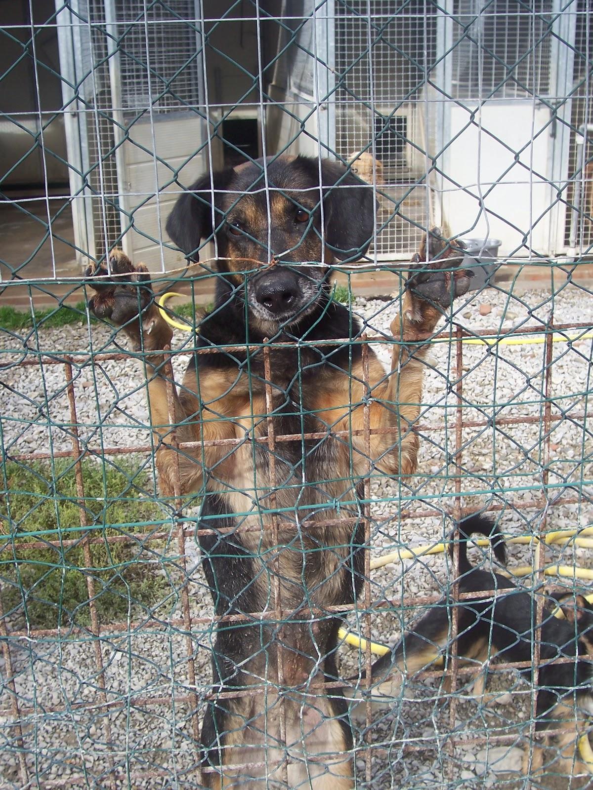 Canile di ossaia margot pastorina vivace giocherellona - Portare il cane al canile ...