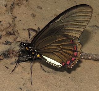 Battus lycidas, Yellow-trailed Swallowtail