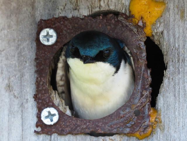 Tree Swallow - Jamaica Bay, New York