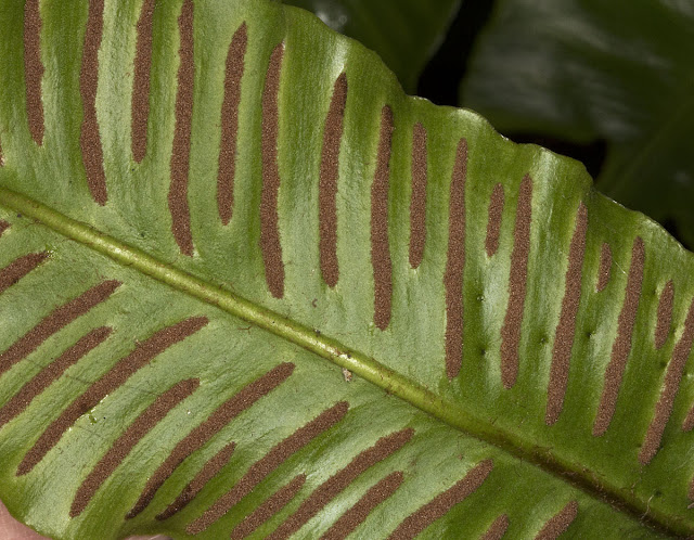Undersurface of a frond of Hart's-tongue Fern, Asplenium scolopendrium.  Leaves Green, 3 December 2011.