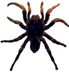 Araña pollita adulta