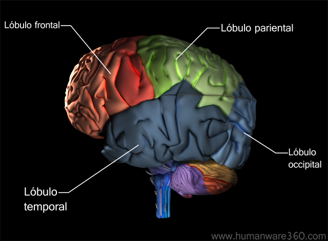 the brain is divided into two hemispheres Cerebrum the cerebrum is the largest part of the brain it's divided into two halves, called hemispheres the two hemispheres are separated by a groove called the.