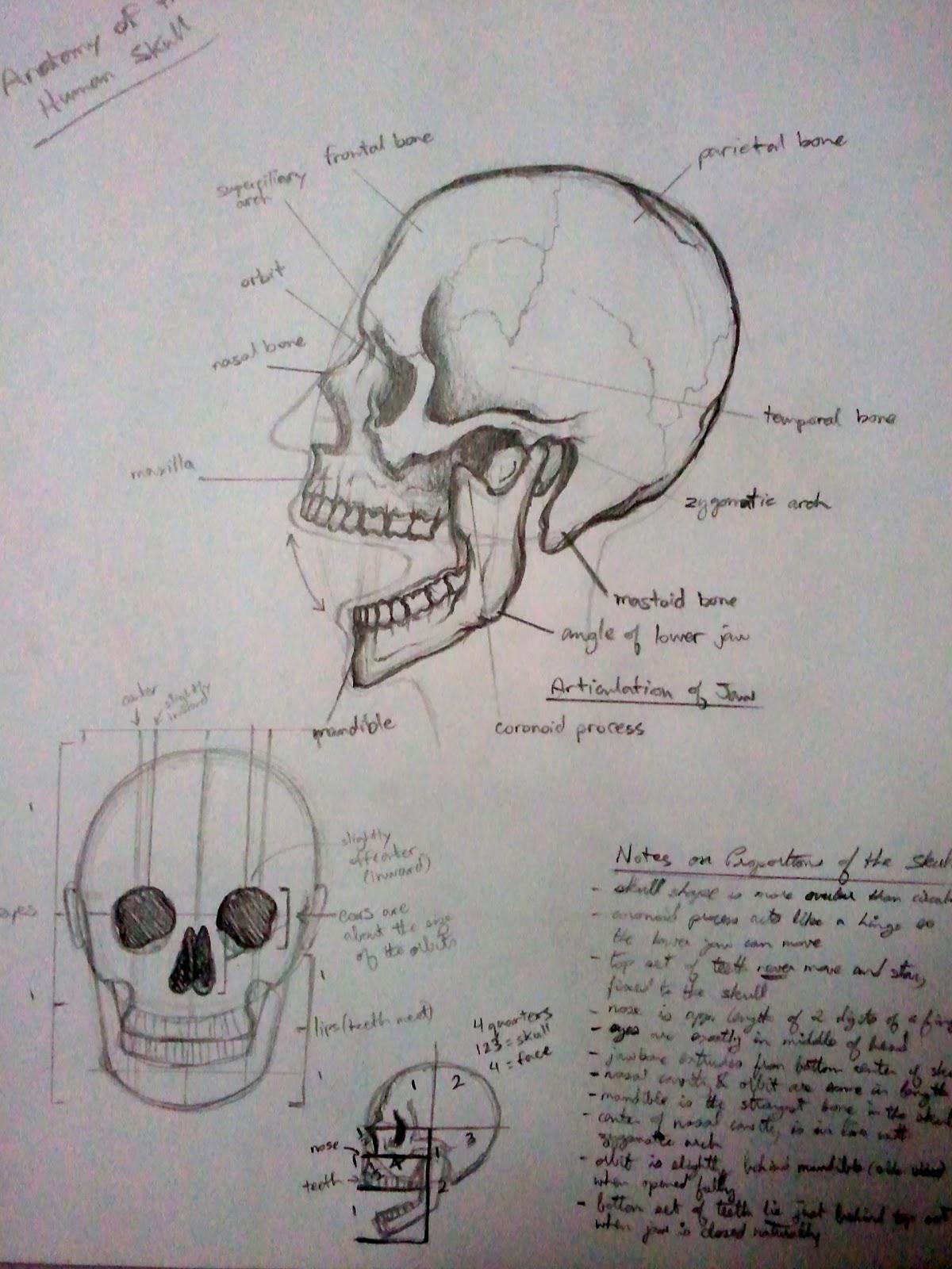 Anim8r X: Anatomy Studies (Bones)