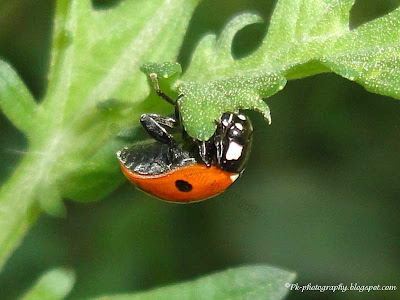 Ladybug Eating Leaf