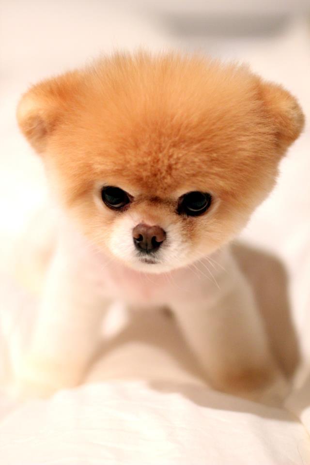 boo  o cachorro mais famoso da internet  fotos
