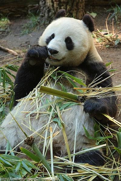 Funny panda eat.