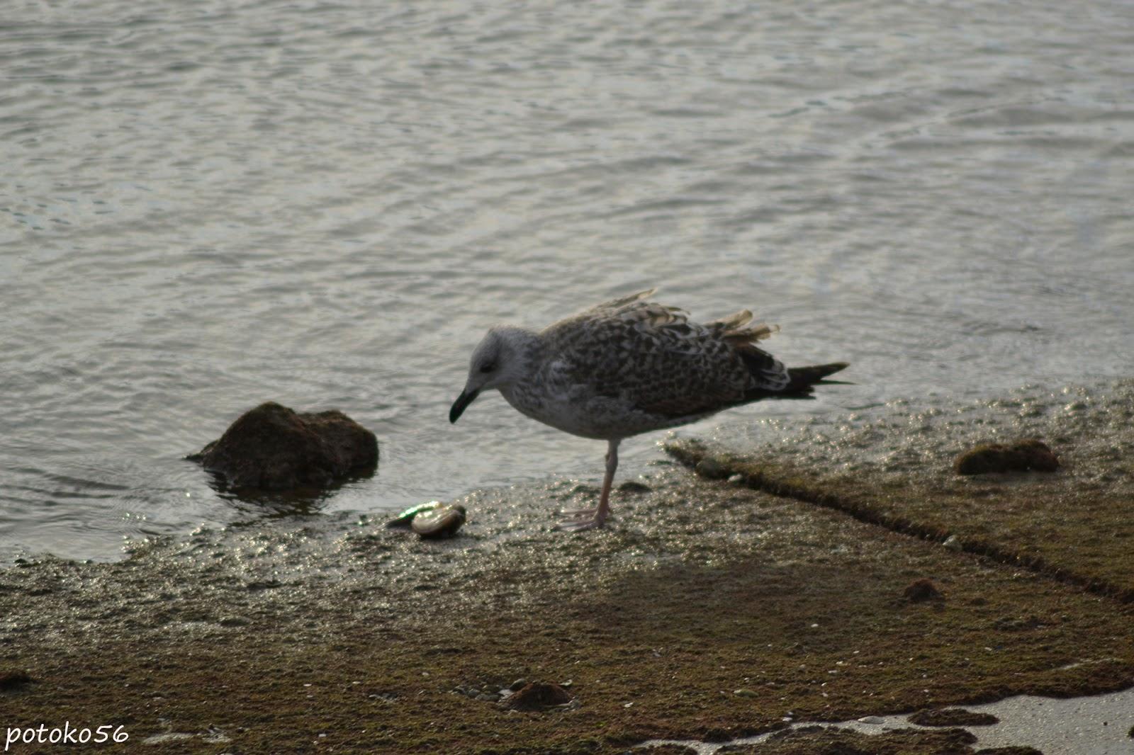 Gaviota con su presa en la orilla de la playa