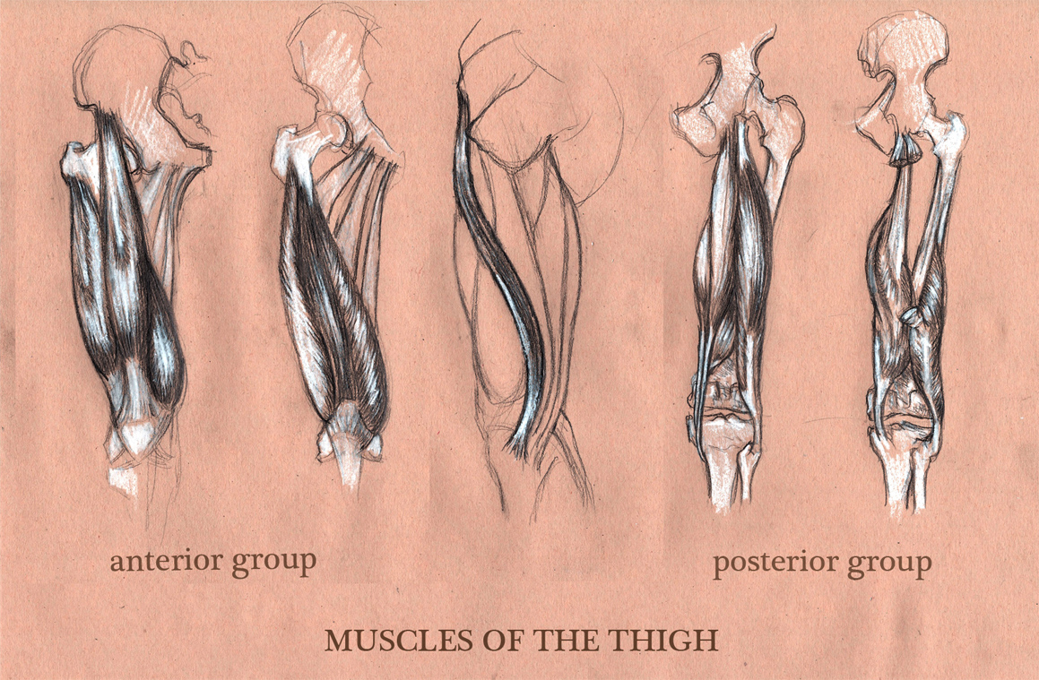 Michele Giorgi Illustrator : Anatomy Sketches: Muscle of the Thigh ...