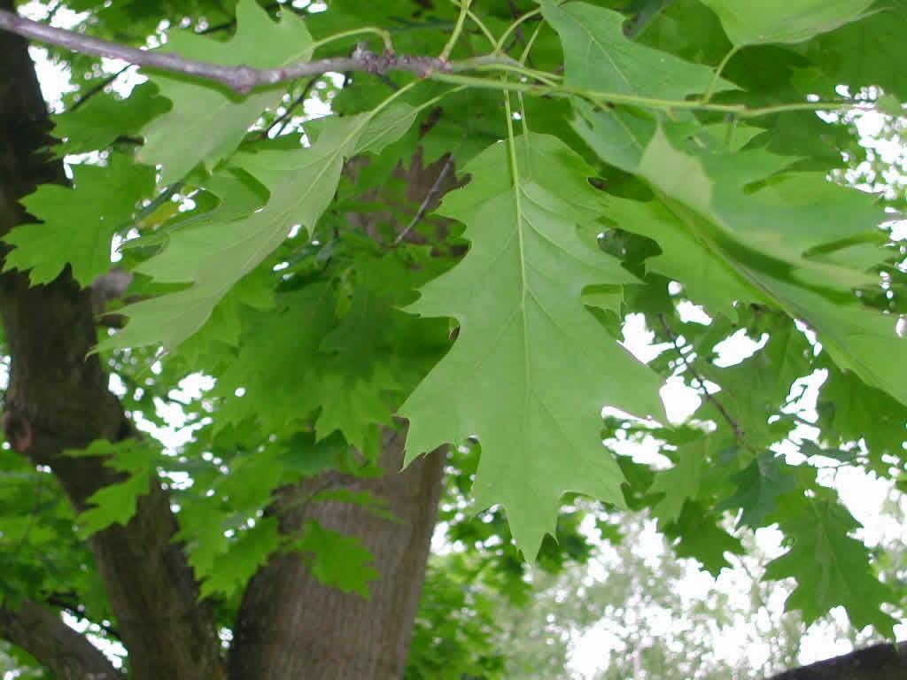 Trees planet: quercus rubra red oak