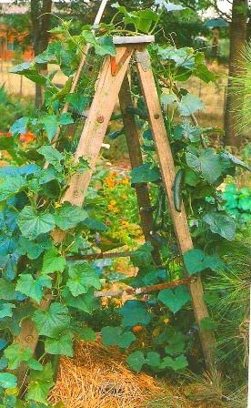 growing vegetables up old ladders