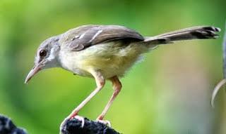 sesuai maka akan membuat burung ini mengeluarkan suara yang ngeplong