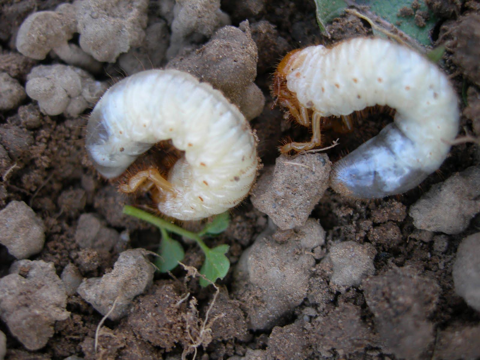 Tutti pazzi per le piante larve di maggiolino melolontha for Nei progetti domestici di terra