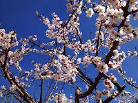 blue sky, blossoms, sakura, spring, flowers