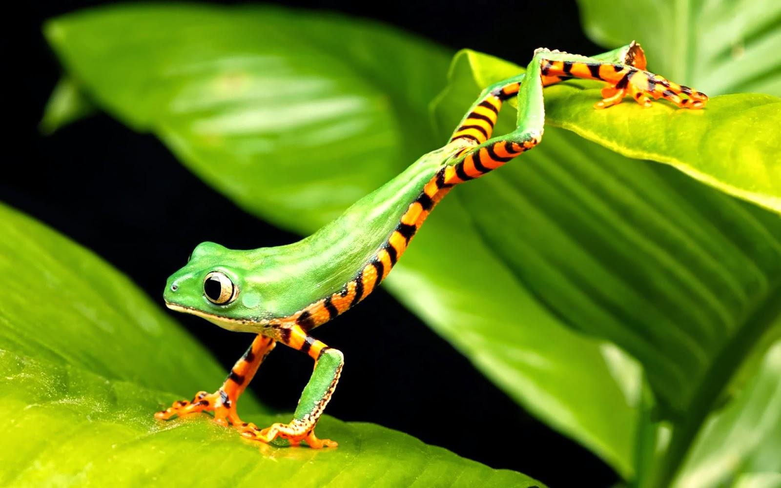 Phyllomedusa Frog