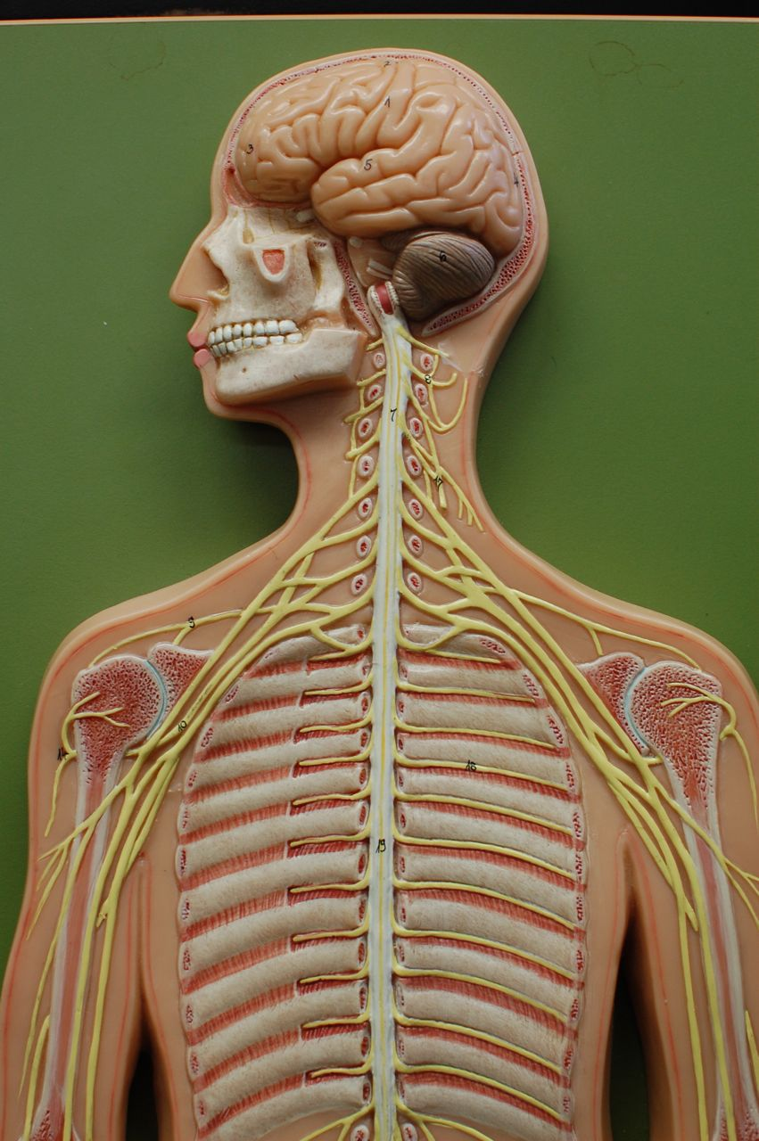 Human Anatomy Lab: Peripheral Nervous System