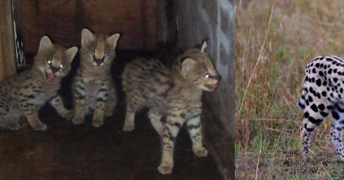 Pak Teh Agro Farm Anak African Serval Cat Untuk Dijual