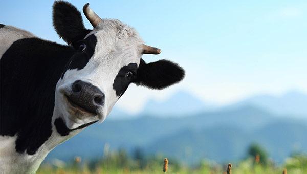 Коллектор, забравший корову у башкирской пенсионерки, пойдет под суд