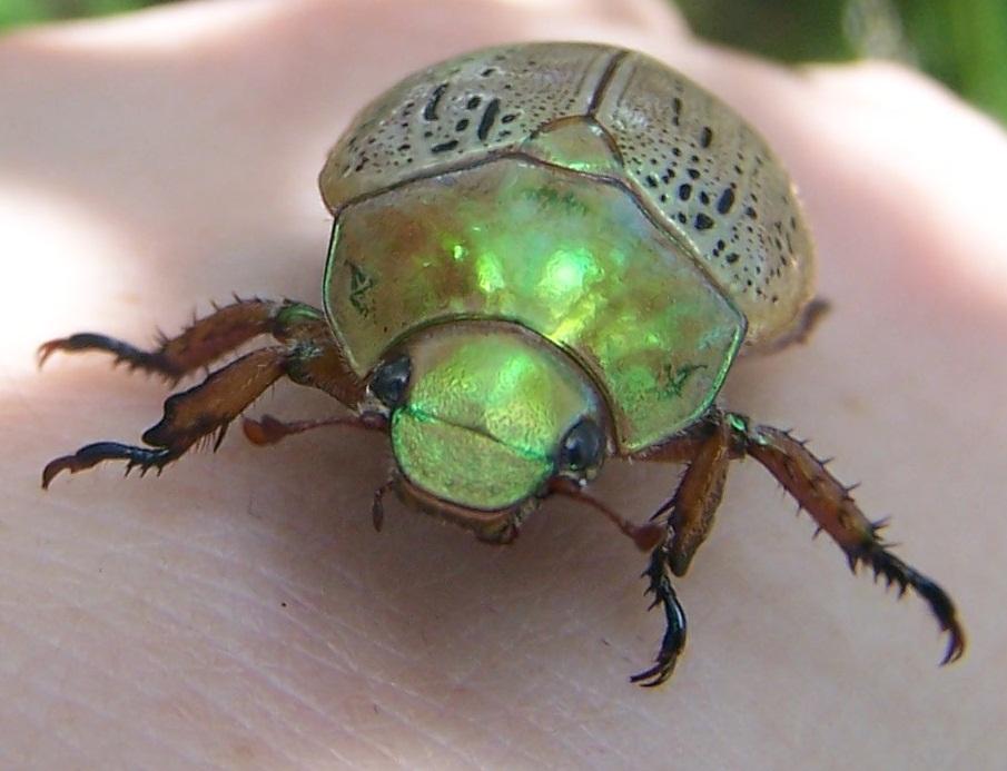 ladybird beetle larvae