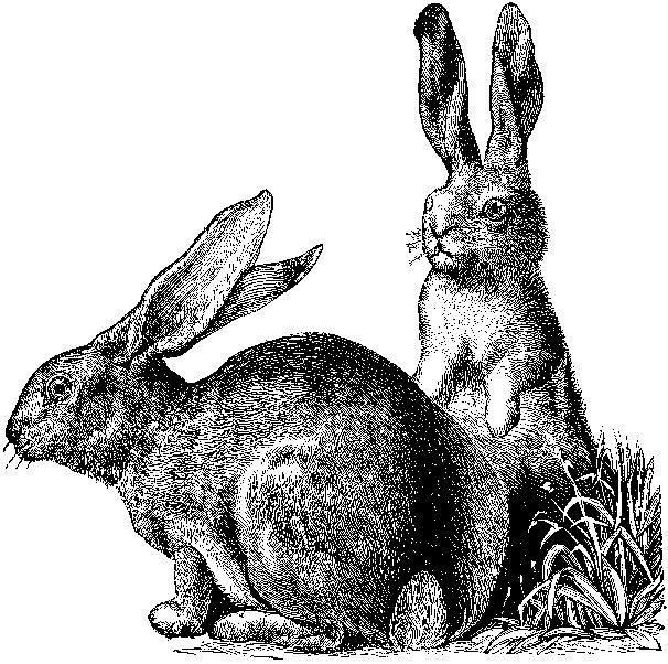 lapin, conejo