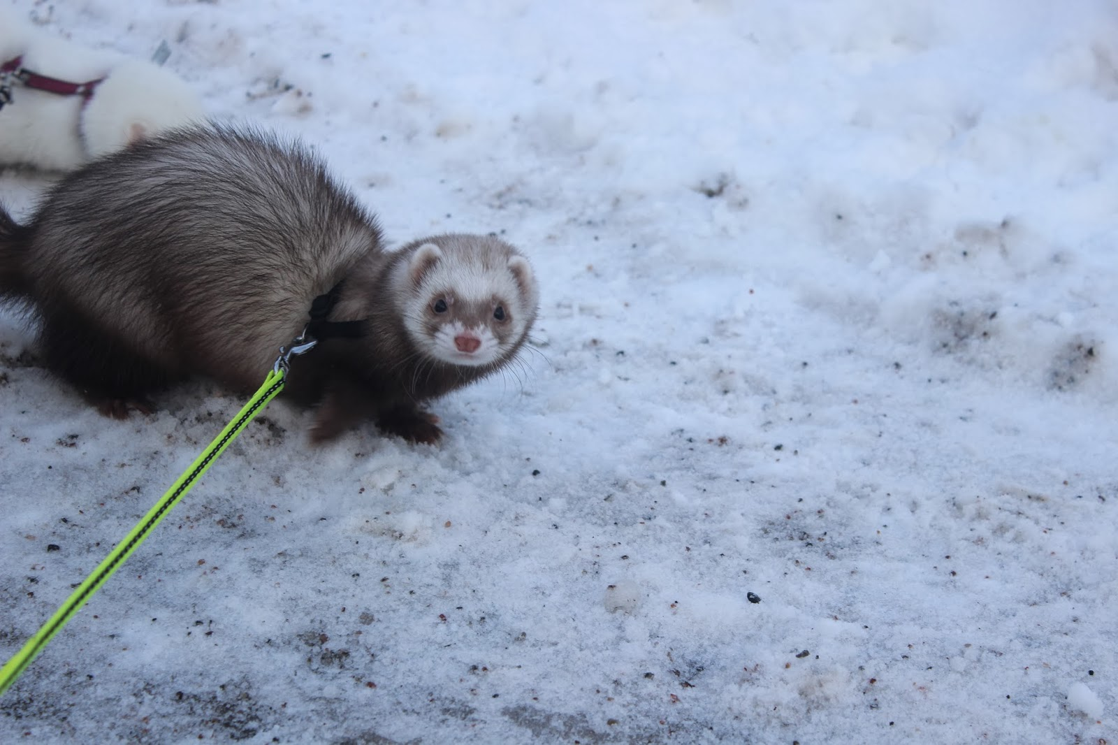 fretin+ulkoilu+talvella+ferret