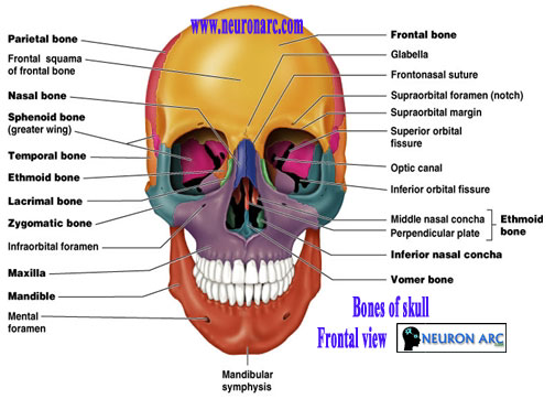 The skull: Bones and Sutures of skull
