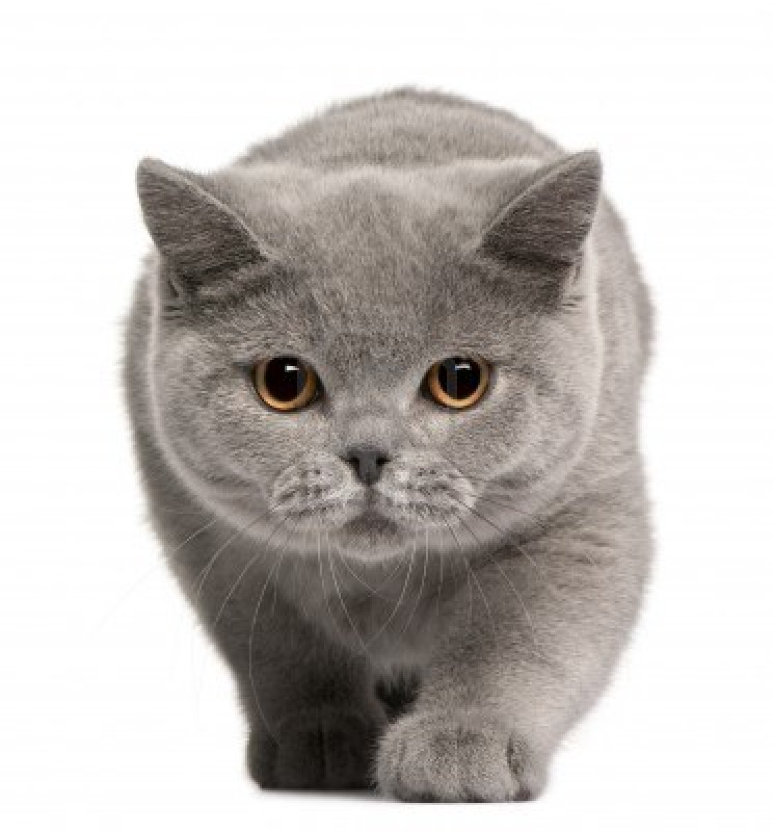gatos british shorthair: