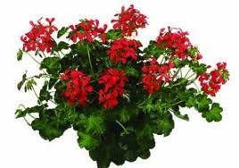 March aux plantes de volstroff annuelles - Geranium lierre double ...