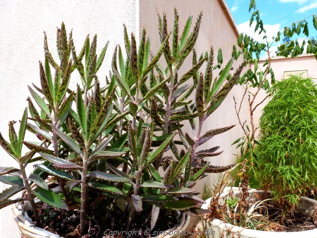 plante grasse mediterraneenne