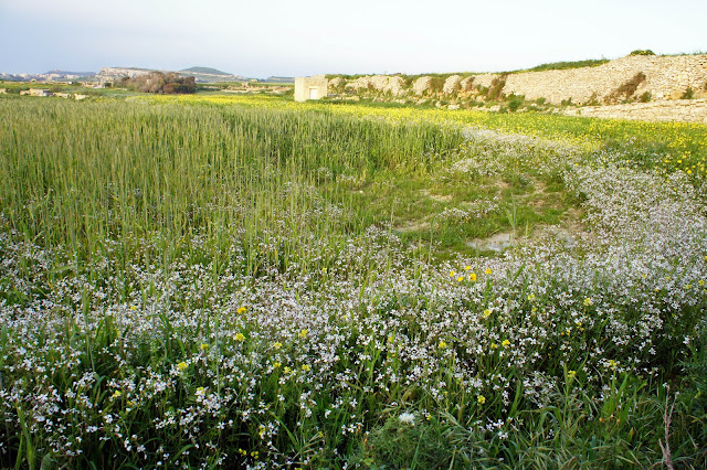gozo countryside spring flowers