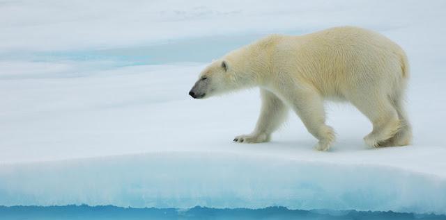Oso polar y biologia