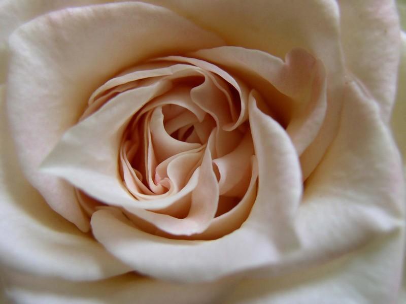 la rose Rose%2Bblanche