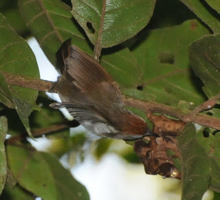 Rufous-fronted Babbler (Stachyridopsis rufifrons)