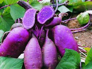 khasiat ubi ungu zat anti kanker
