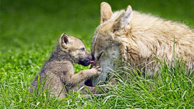 Mother wolf and pup (© Ronald Wittek/age fotostock) 585