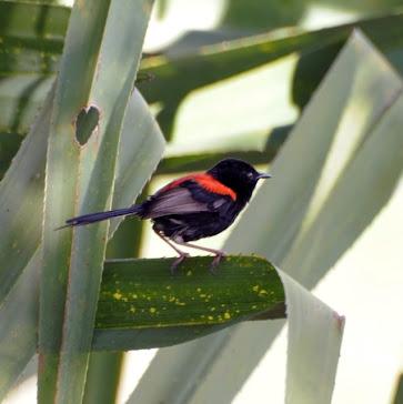 Red backed Fairy-Wren male 023