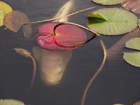 Koi' Carp Pond in Itsukaichi, Hiroshima