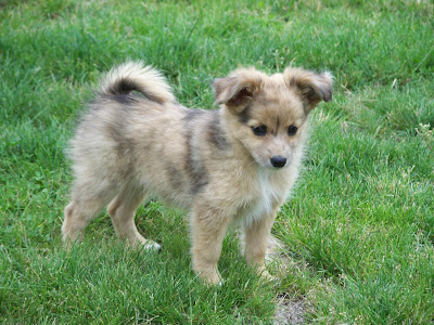 Mini Australian Shepherd Pictures