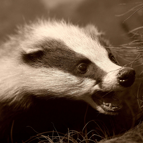 http://2.bp.blogspot.com/-fb3nETTmvh0/Tsup45YNyGI/AAAAAAAAAoo/c6TH2VtPQoA/s1600/Angry+Badger.jpg