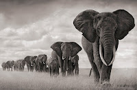 Journey of African Elephants