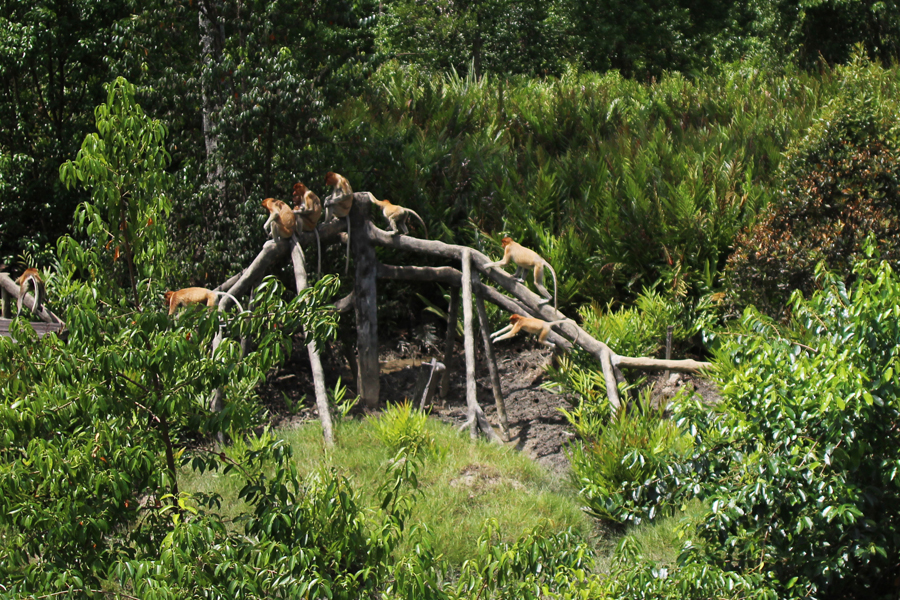 Labuk Bay Proboscis Monkey Sanctuary Borneo Posh, Broke, & Bored