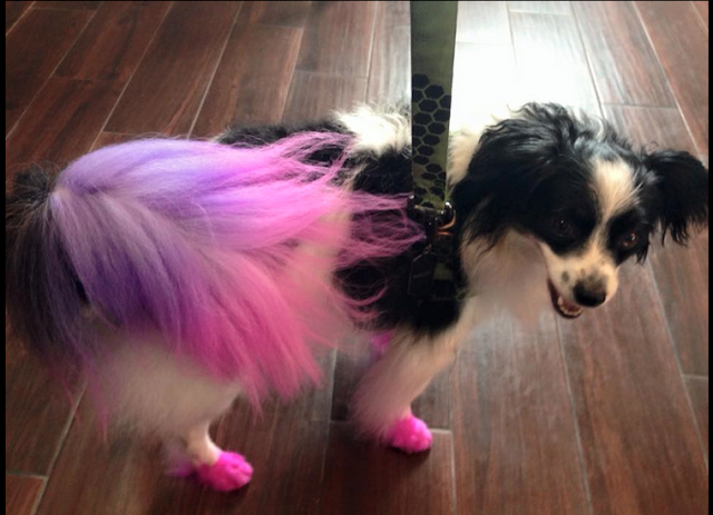 Color dyeing my male dog pink and purple