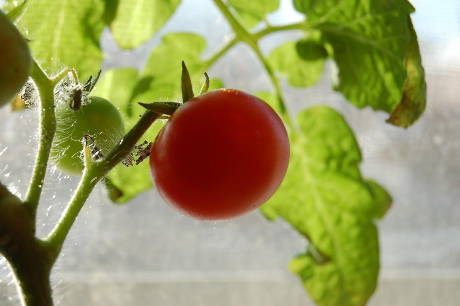 3 jardins au qu bec juillet 2013 - Plant de tomate cerise ...