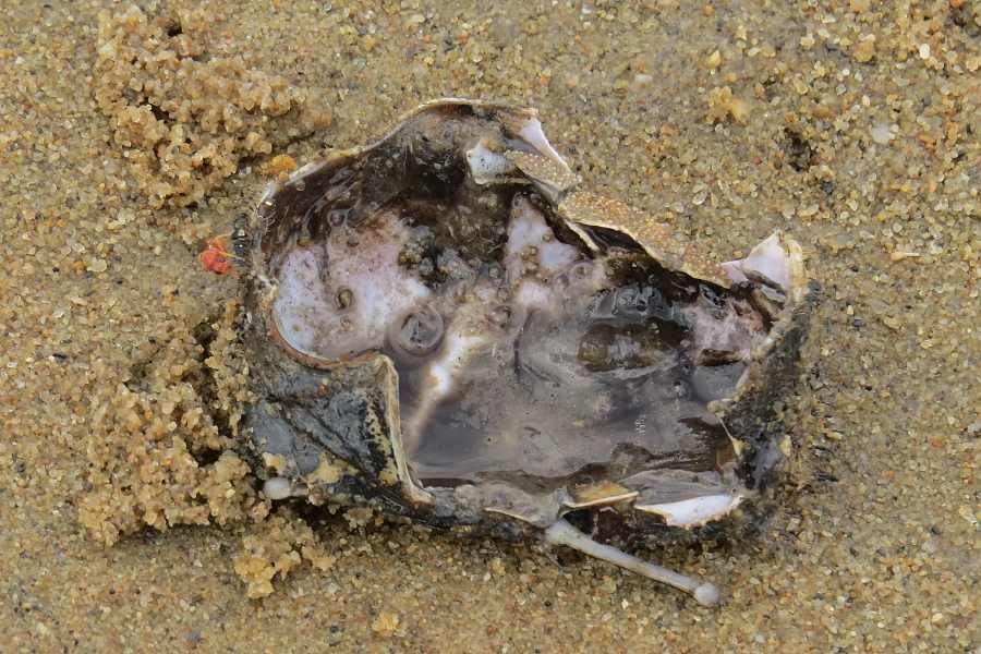 Sentinel crab remains