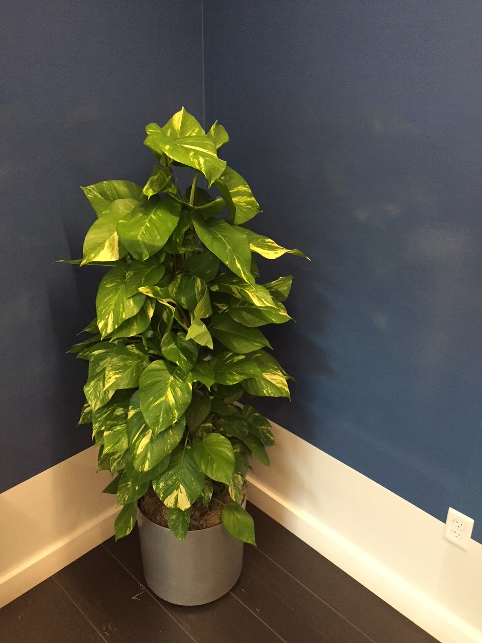 Merveilleux Needham Natall Narrow Totem Pothos;inside Green Plant Design Pricing;indoor  Plant Care;