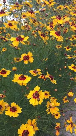 Yellow Prairie Flowers